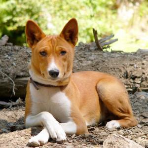 басенджи порода собак из Африки