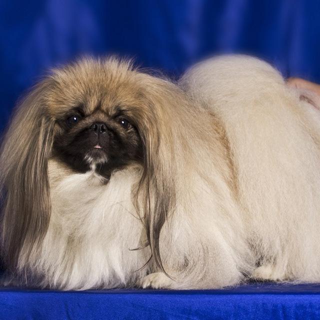 собаки породы пекинес фото