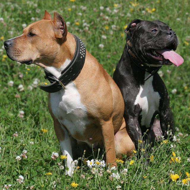 питбуль-порода собак фото