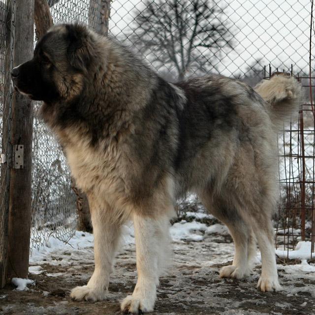 фото кавказской овчарки взрослой фото