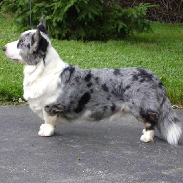 кардиган порода собак фото