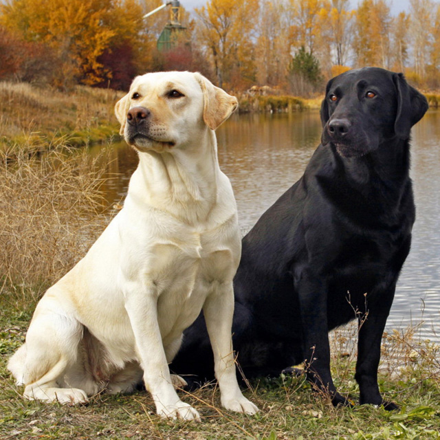 Labrador puppies for sale in kent and sussex