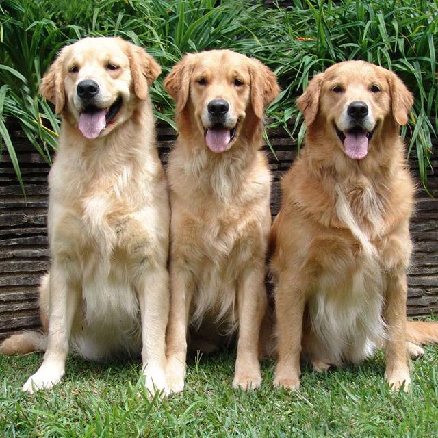 порода собак ретривер фото