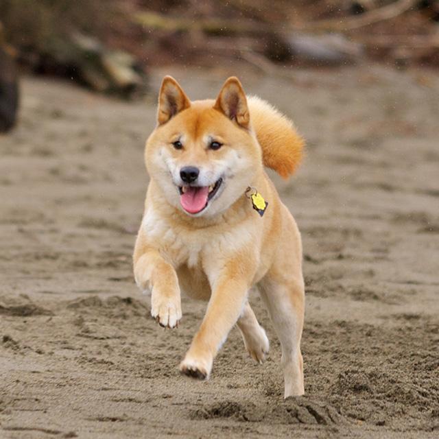 фото собаки шиба ину