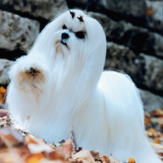 порода собаки мальтезе фото