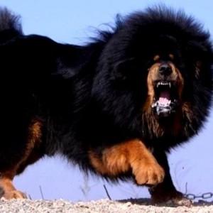 tibetskii_mastif_-bolshaya_sobaka