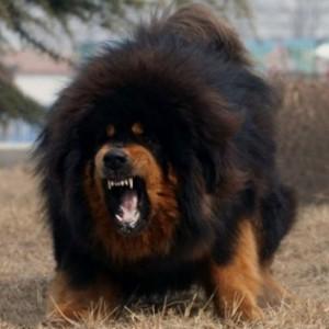 tibetskii_mastif-ogromneyi