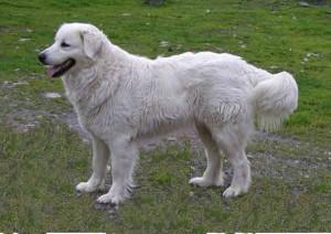 choovach-sobaka