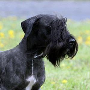 Порода собак для охоты чешский терьер