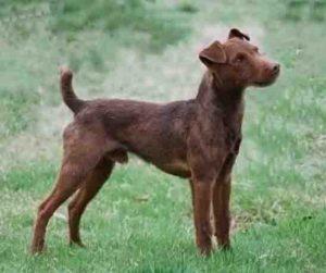 паттердейл-терьер-фото породы собак