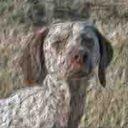 Порода собак бракк бурбоне